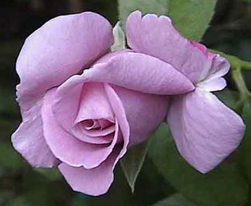 rose-eye