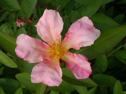New-Rose.jpg