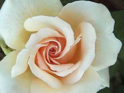 White-Rose-e1520817797212.jpg